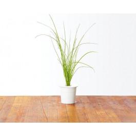 Recharge triple de Ciboulette pour jardin d'intérieur Smart Garden 3 - Click and Grow