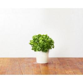 Recharge triple de Persil pour jardin d'intérieur Smart Garden 3 - Click and Grow